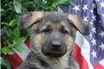 Picture of Justice / German Shepherd