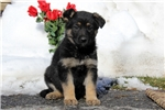 Picture of Gayle / German Shepherd