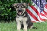 Picture of Liberty / German Shepherd