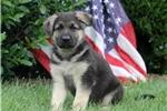 Picture of Firecracker / German Shepherd