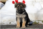 Picture of Gloria / German Shepherd