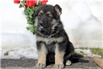 Picture of Gwen / German Shepherd