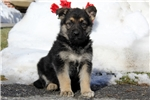 Picture of Ginny / German Shepherd