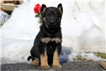 Picture of Gerry / German Shepherd