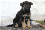 Picture of Gabriel / German Shepherd