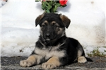 Picture of Gracie / German Shepherd