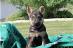 Picture of Lily / German Shepherd