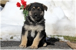 Picture of Gusty / German Shepherd
