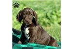 Picture of Kingston / German Shorthaired Pointer