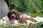 Picture of Margo / German Shorthaired Pointer