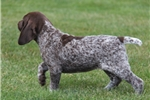 Picture of Rosa / German Shorthaired Pointer