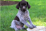 Picture of Paul / German Shorthaired Pointer