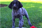 Picture of Peter / German Shorthaired Pointer