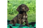Picture of Kippling / German Shorthaired Pointer