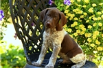 Picture of Timber / German Shorthaired Pointer
