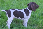 Picture of Tucker / German Shorthaired Pointer