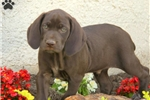 Picture of Roman / German Shorthaired Pointer