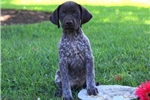 Picture of Pearl / German Shorthaired Pointer