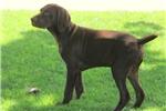 Picture of Harvey / German Shorthaired Pointer