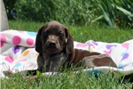 Picture of Misty / German Shorthaired Pointer