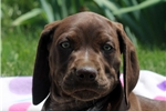 Picture of Max / German Shorthaired Pointer