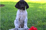 Picture of Pouncer / German Shorthaired Pointer
