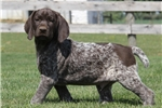 Picture of Risk / German Shorthaired Pointer