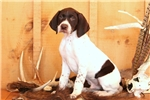 Picture of Trigger / German Shorthaired Pointer