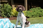 Picture of Bailey / German Shorthaired Pointer
