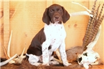 Picture of Tiffany / German Shorthaired Pointer