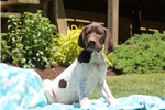 Picture of Booker / German Shorthaired Pointer