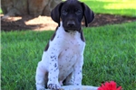 Picture of Patrick / German Shorthaired Pointer