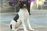 Picture of Tasha / German Shorthaired Pointer