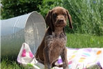 Picture of Memphis / German Shorthaired Pointer