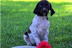 Picture of Petel / German Shorthaired Pointer