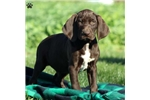 Picture of Kam / German Shorthaired Pointer