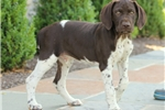 Picture of Trooper / German Shorthaired Pointer