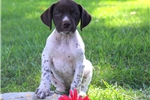 Picture of Peony / German Shorthaired Pointer