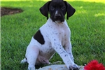 Picture of Pluto / German Shorthaired Pointer