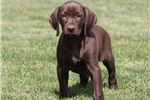 Picture of Ruby / German Shorthaired Pointer