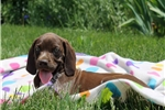 Picture of Maddie / German Shorthaired Pointer