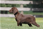 Picture of Roxanne / German Shorthaired Pointer