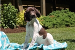 Picture of Brisket / German Shorthaired Pointer
