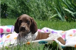 Picture of Miley / German Shorthaired Pointer