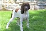 Picture of Hodgie / German Shorthaired Pointer