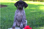 Picture of Peace / German Shorthaired Pointer