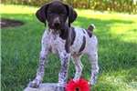 Picture of Pan / German Shorthaired Pointer