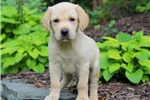 Vince / Golden Labrador | Puppy at 10 weeks of age for sale