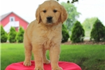 Picture of Feebie / Golden Retriever