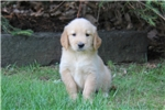 Picture of Alisha / Golden Retriever